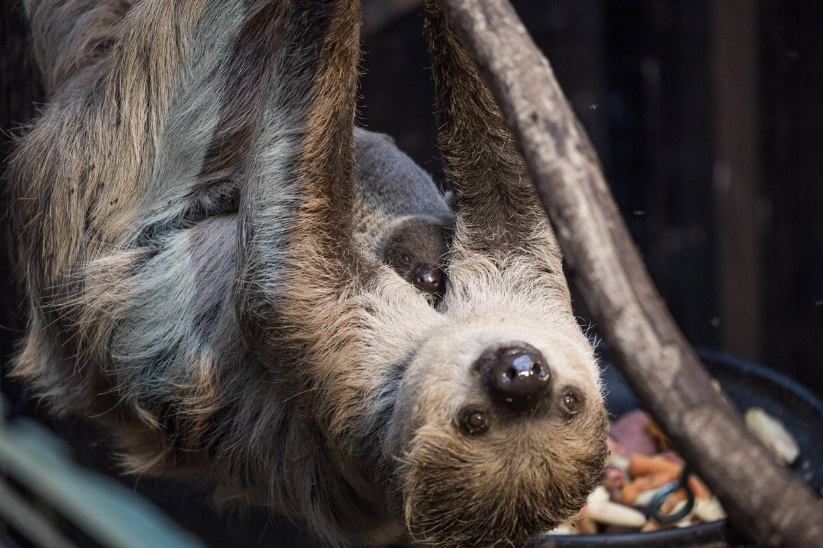 Marilyn the sloth takes care of an adorable baby sloth at ZSL London Zoo