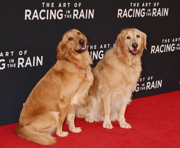Enzo is mostly portrayed by Parker, a two-year-old Golden Retriever, but a number of other dogs helped out as well